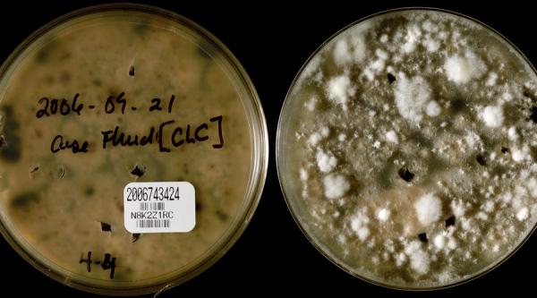 霉菌毒素对动物的健康影响